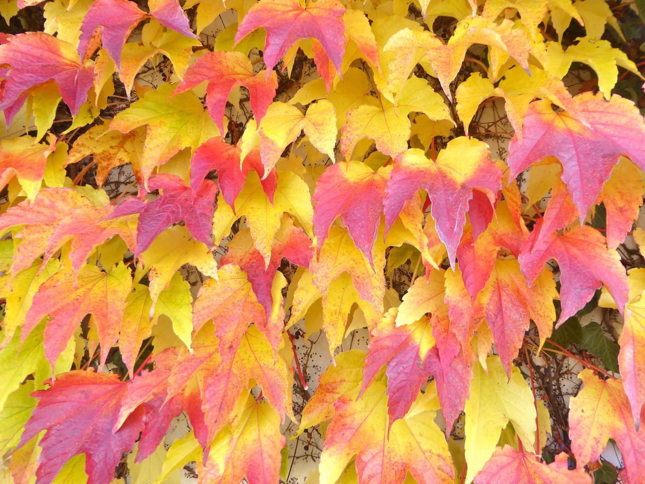 autumn, leaf, change, outdoors, nature, fragility, day, close-up, full frame, maple leaf, backgrounds, no people, growth, beauty in nature, maple, yellow, tree