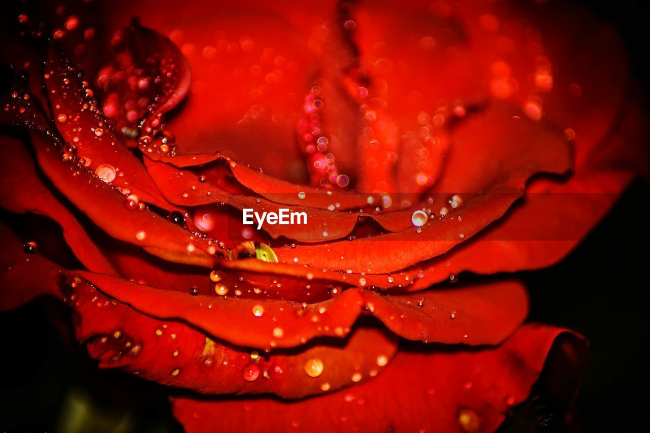 drop, water, wet, red, nature, beauty in nature, fragility, freshness, petal, close-up, droplet, raindrop, no people, growth, purity, flower, outdoors, flower head, day
