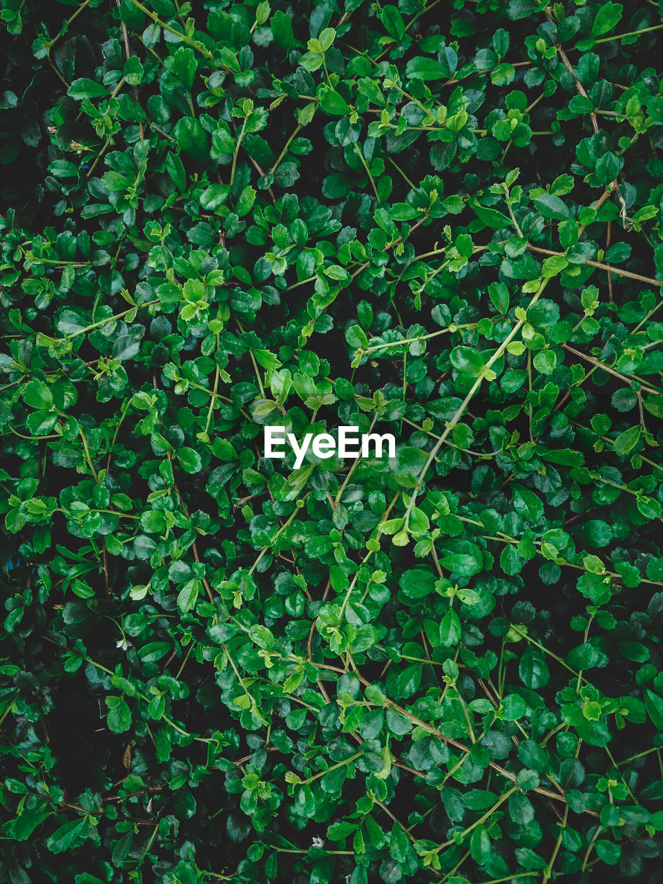 green color, growth, plant, plant part, leaf, beauty in nature, nature, no people, day, full frame, high angle view, outdoors, tranquility, backgrounds, freshness, land, lush foliage, foliage, food and drink, abundance, clover