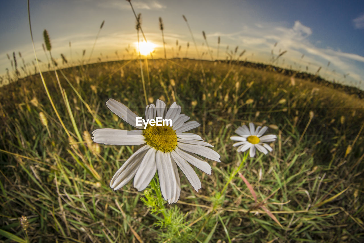 plant, flowering plant, flower, fragility, freshness, beauty in nature, vulnerability, growth, sky, nature, inflorescence, flower head, petal, field, close-up, focus on foreground, land, grass, white color, no people, outdoors, pollen
