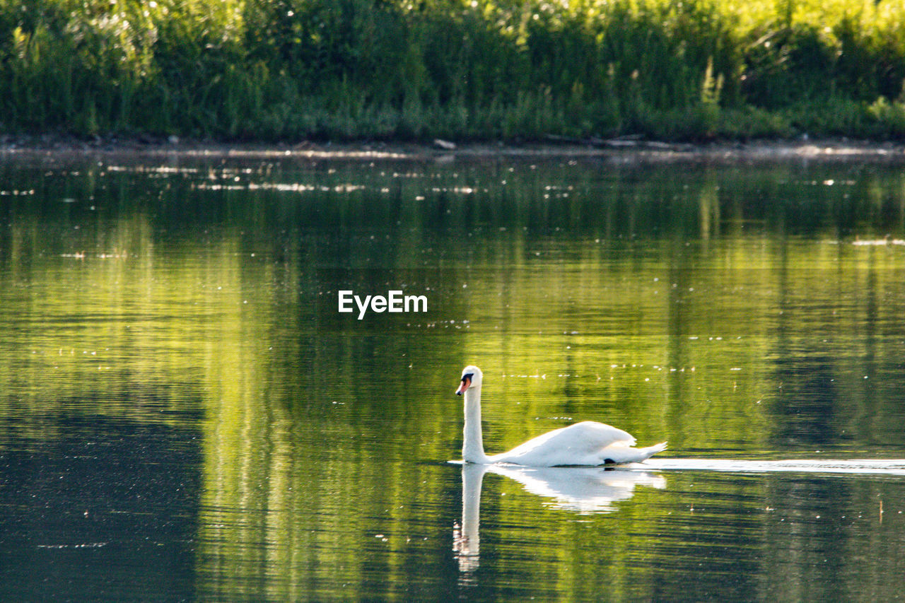 water, animal, bird, vertebrate, lake, animal wildlife, animal themes, animals in the wild, reflection, one animal, swan, swimming, no people, water bird, day, waterfront, nature, white color, beauty in nature, outdoors, floating on water