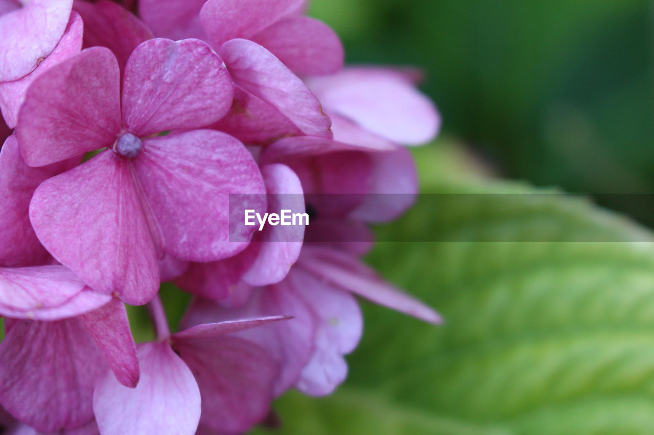 plant, flowering plant, flower, vulnerability, fragility, petal, close-up, beauty in nature, freshness, growth, inflorescence, flower head, pink color, nature, focus on foreground, no people, day, outdoors, plant part, hydrangea, purple, dew