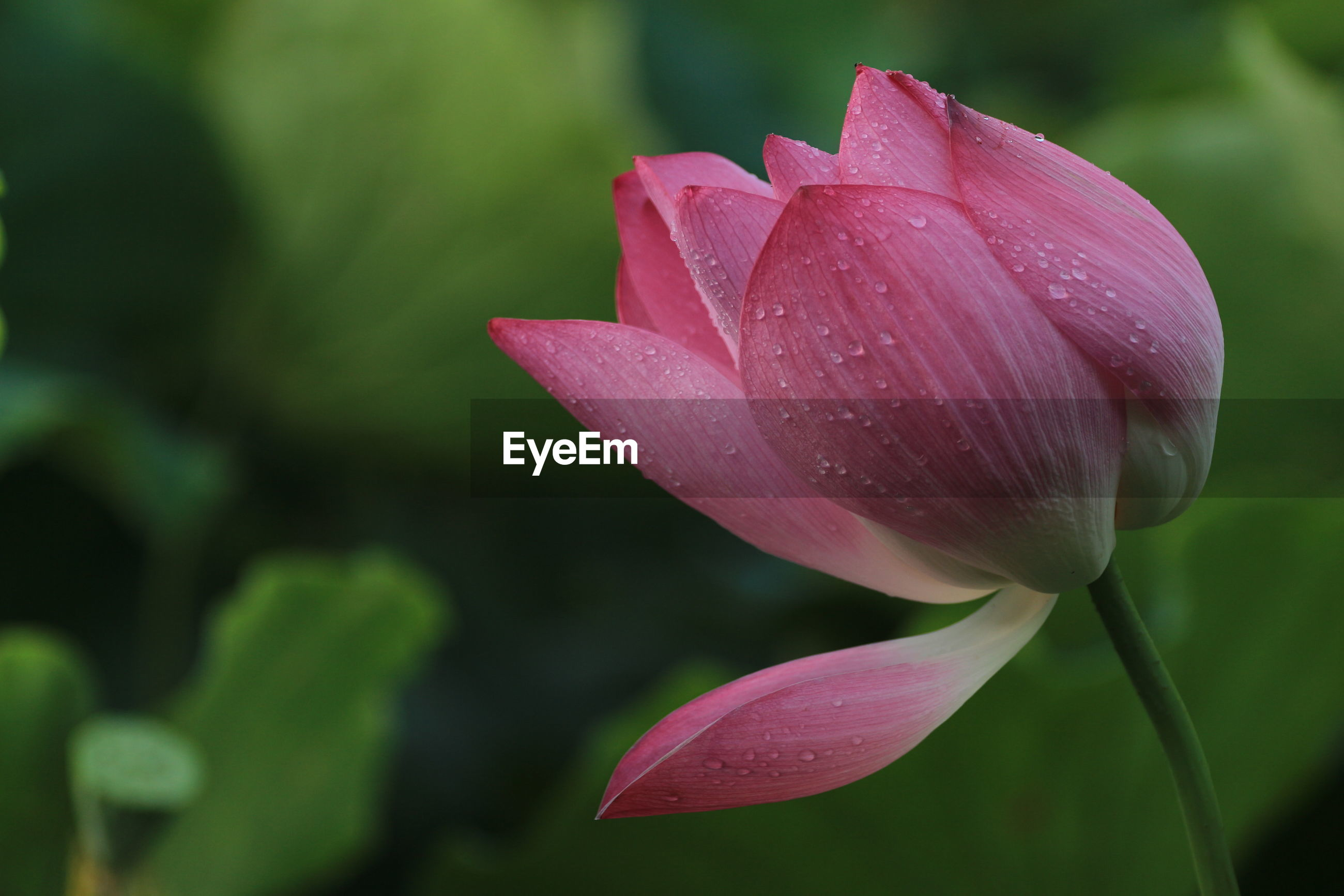 Close-up of wet pink lotus water lily