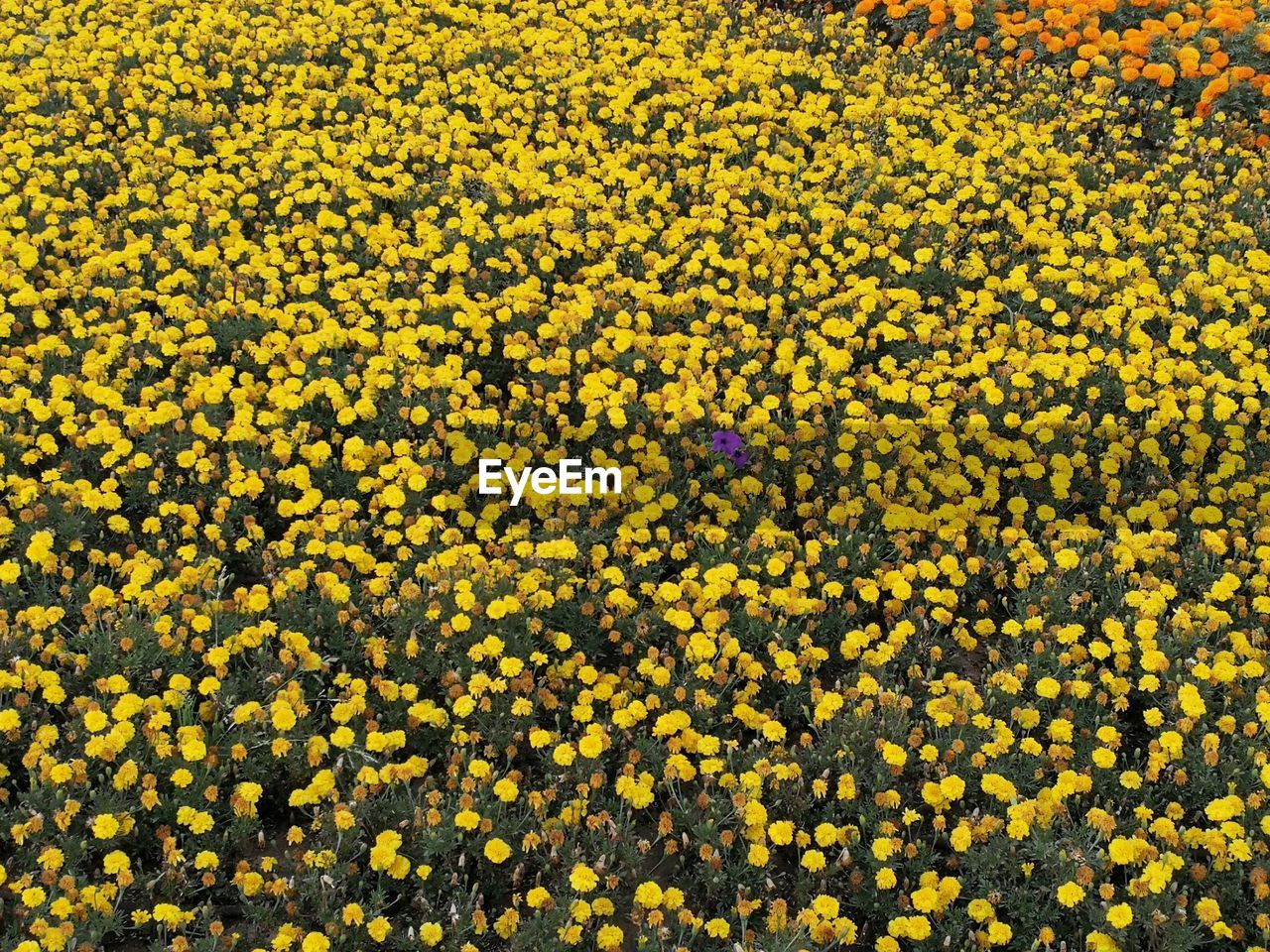yellow, flower, flowering plant, beauty in nature, plant, vulnerability, freshness, fragility, growth, abundance, nature, field, land, day, full frame, high angle view, backgrounds, flower head, springtime, outdoors, no people, flowerbed