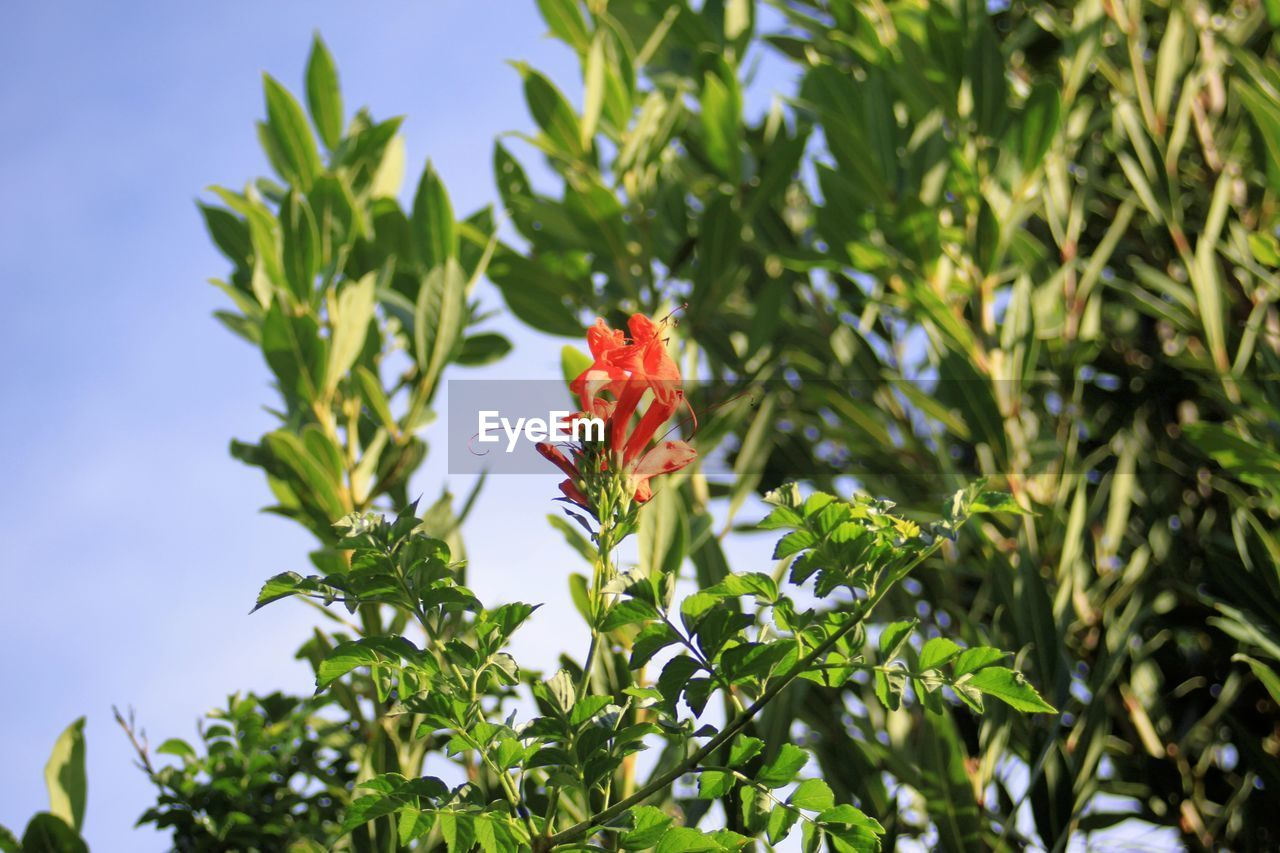 plant, growth, flowering plant, flower, beauty in nature, green color, nature, plant part, freshness, day, leaf, red, vulnerability, no people, fragility, petal, sky, close-up, focus on foreground, outdoors, flower head