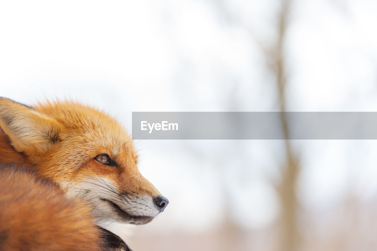Close-up of a red fox looking away