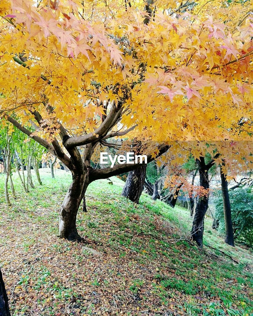 tree, autumn, nature, beauty in nature, change, landscape, no people, day, tranquility, tree trunk, leaf, scenics, outdoors, tranquil scene, branch, close-up