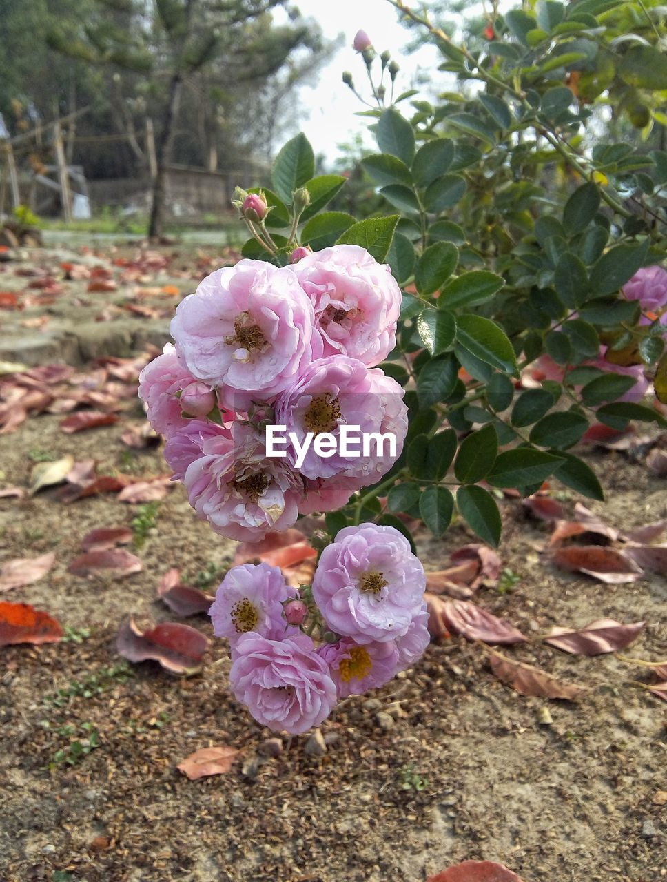 flower, nature, growth, no people, plant, pink color, petal, beauty in nature, outdoors, fragility, day, blooming, flower head, close-up, freshness