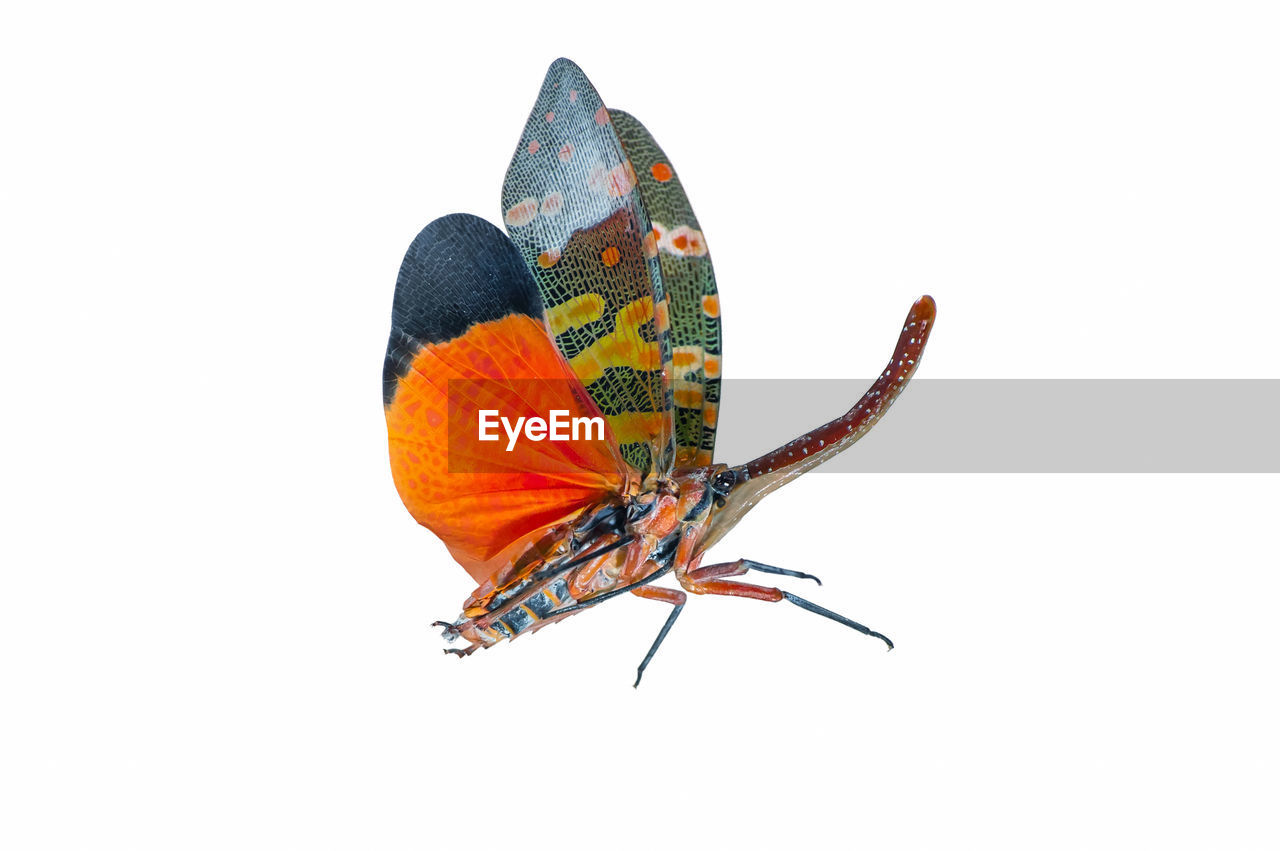 insect, close-up, studio shot, white background, animal, animals in the wild, invertebrate, animal wing, animal themes, beauty in nature, butterfly - insect, animal wildlife, no people, one animal, copy space, orange color, flower, nature, cut out, indoors, butterfly