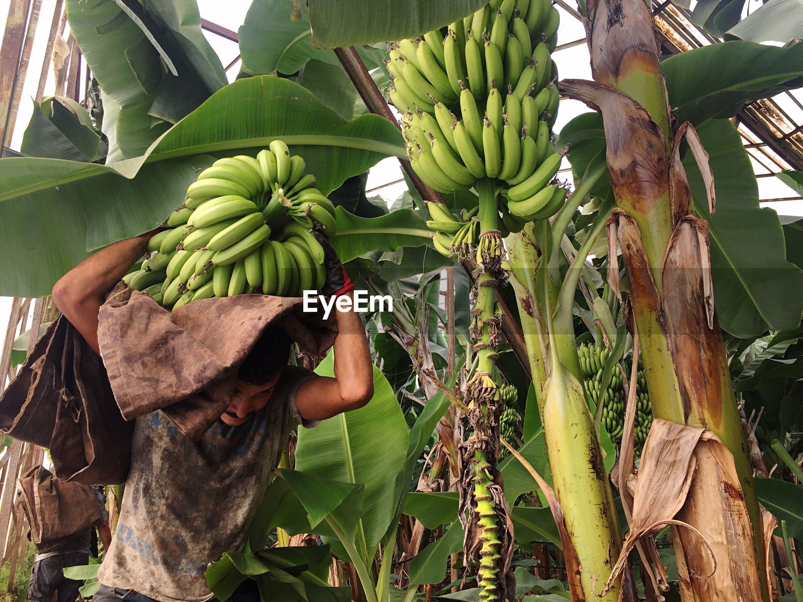 Farmer carrying bananas at farm