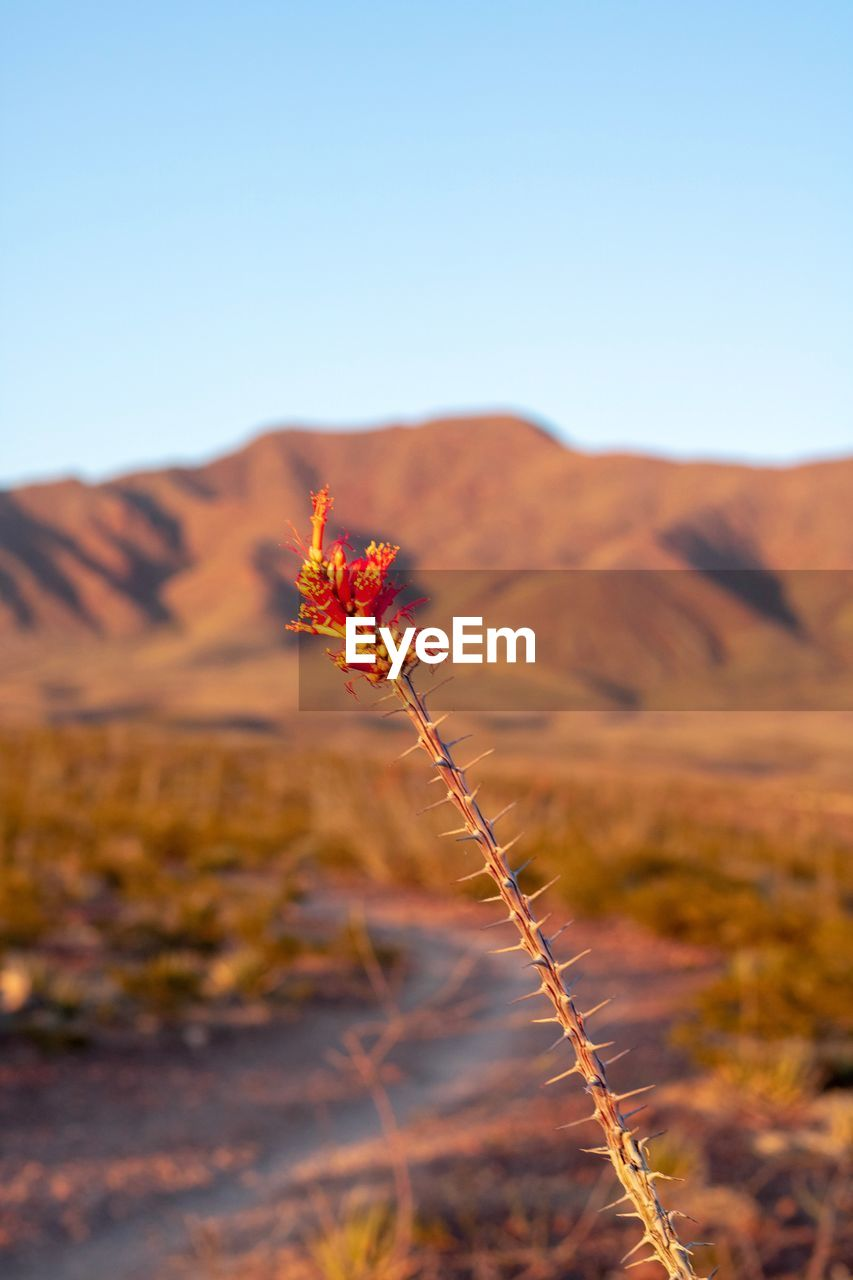 sky, nature, clear sky, plant, beauty in nature, landscape, land, copy space, scenics - nature, day, environment, no people, focus on foreground, outdoors, tranquility, non-urban scene, tranquil scene, field, orange color, mountain, arid climate, climate