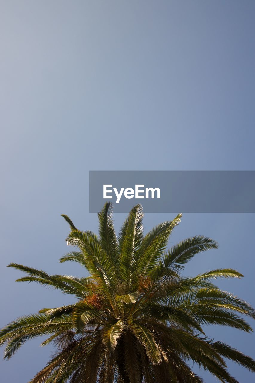 sky, plant, growth, palm tree, tree, tropical climate, clear sky, low angle view, copy space, nature, leaf, no people, beauty in nature, day, outdoors, tranquility, green color, plant part, blue, treetop, tropical tree, palm leaf, coconut palm tree