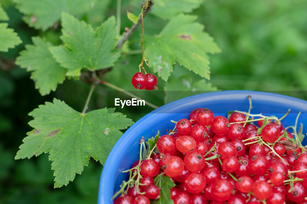red, fruit, healthy eating, food, food and drink, freshness, berry fruit, wellbeing, close-up, focus on foreground, plant part, leaf, green color, plant, no people, nature, growth, ripe, day, selective focus, red currant, rowanberry