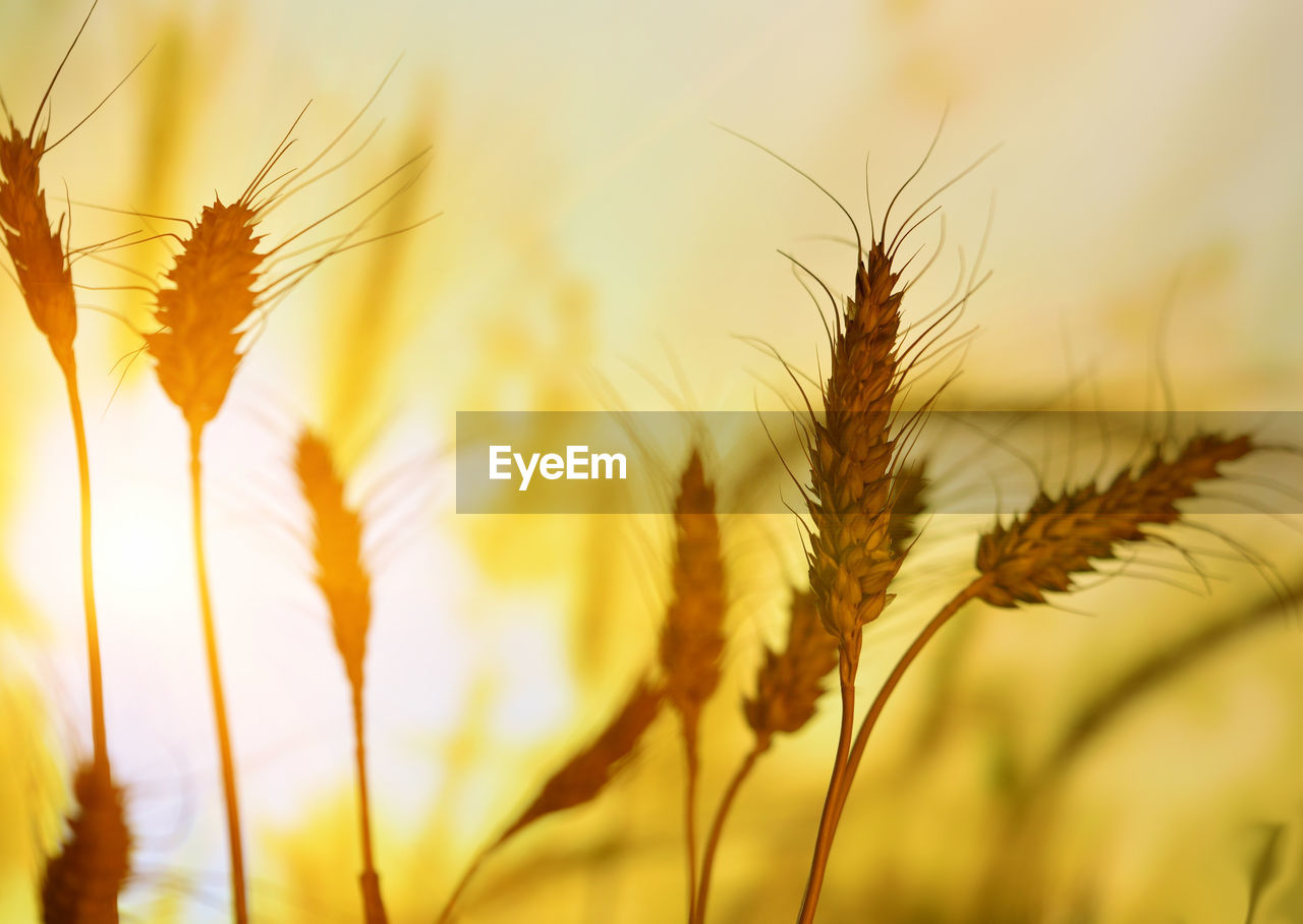 growth, cereal plant, nature, wheat, plant, agriculture, close-up, crop, ear of wheat, no people, beauty in nature, day, outdoors, freshness, rye - grain