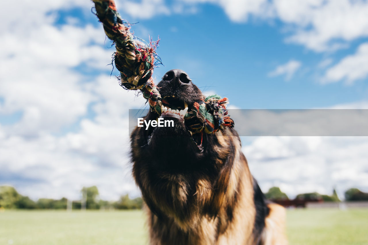 Close-up of german shepherd biting on rope against sky