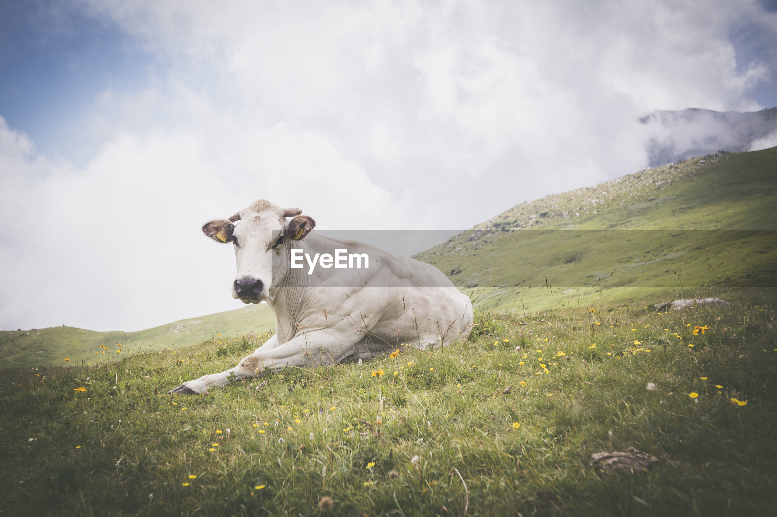 Cow sitting on field against sky
