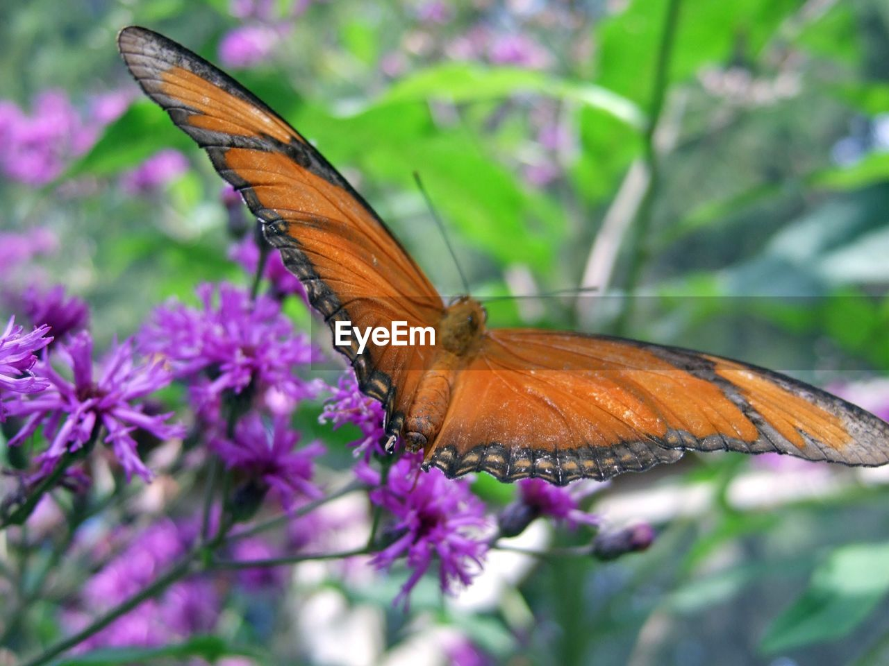 butterfly - insect, insect, one animal, animals in the wild, animal themes, flower, butterfly, nature, purple, plant, fragility, close-up, animal wildlife, no people, beauty in nature, day, outdoors, freshness, growth, pollination, flower head, spread wings