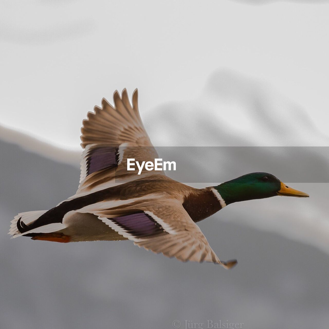 Close-Up Of Male Mallard Duck Flying In Mid-Air