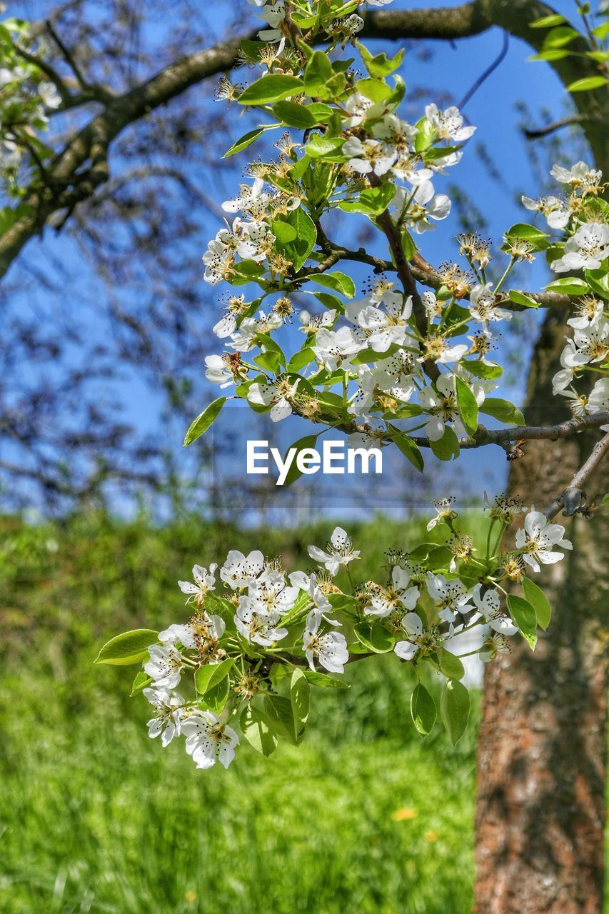 plant, flower, flowering plant, freshness, growth, fragility, beauty in nature, vulnerability, tree, close-up, nature, blossom, day, no people, focus on foreground, branch, petal, springtime, white color, sunlight, outdoors, flower head, spring, cherry tree, cherry blossom