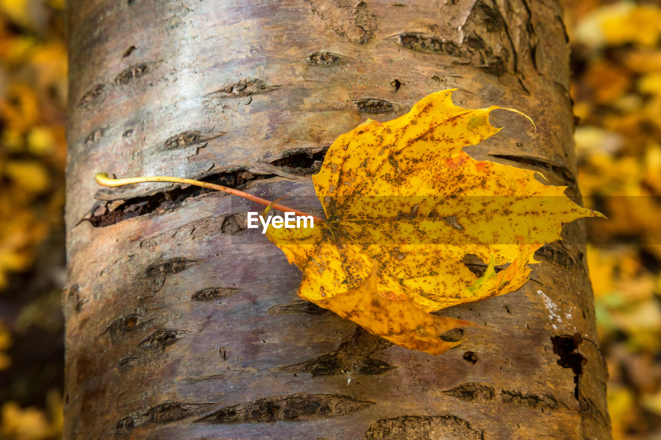 CLOSE-UP OF YELLOW LEAF AGAINST TREE TRUNK
