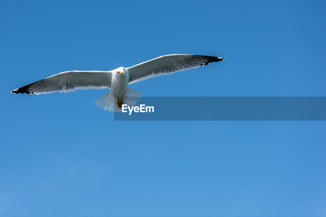 flying, animal wildlife, spread wings, animals in the wild, bird, animal, vertebrate, animal themes, one animal, sky, clear sky, blue, low angle view, copy space, no people, mid-air, day, nature, motion, beauty in nature, seagull