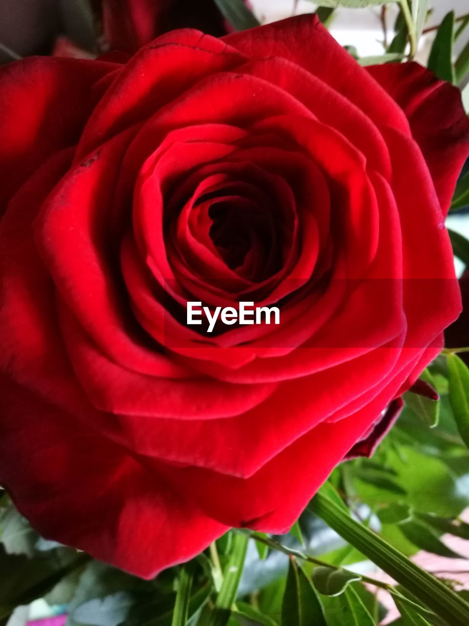 flower, flowering plant, beauty in nature, rose, plant, petal, rose - flower, fragility, close-up, vulnerability, inflorescence, flower head, freshness, red, nature, growth, focus on foreground, no people, day, outdoors