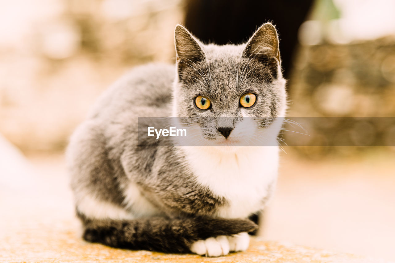 one animal, mammal, domestic cat, domestic animals, pets, domestic, cat, feline, vertebrate, portrait, focus on foreground, looking at camera, no people, close-up, whisker, yellow eyes, day, animal eye