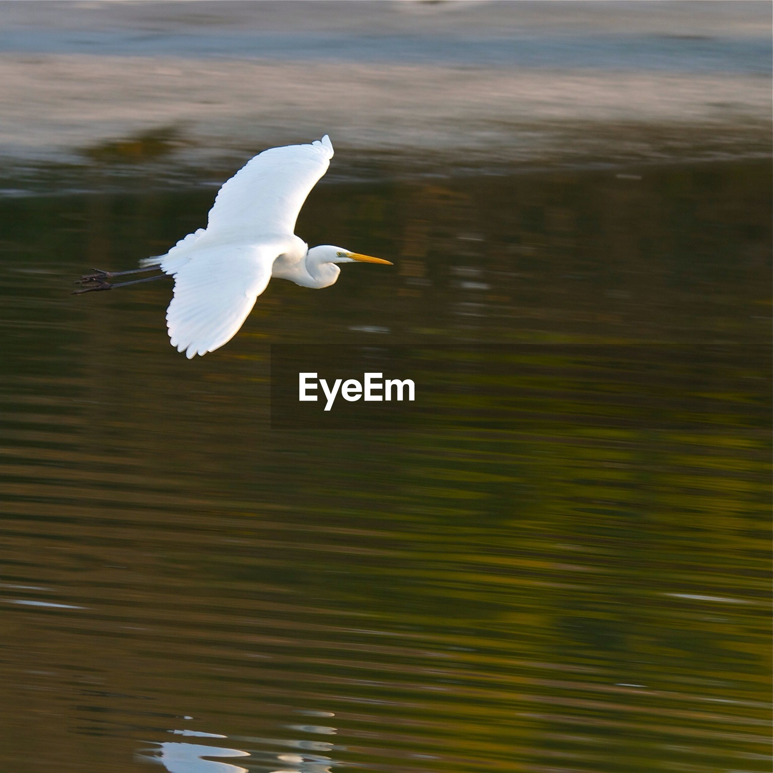 water, bird, lake, white color, waterfront, wildlife, swan, animal themes, nature, animals in the wild, reflection, beauty in nature, one animal, floating on water, white, outdoors, flying, no people, day, rippled