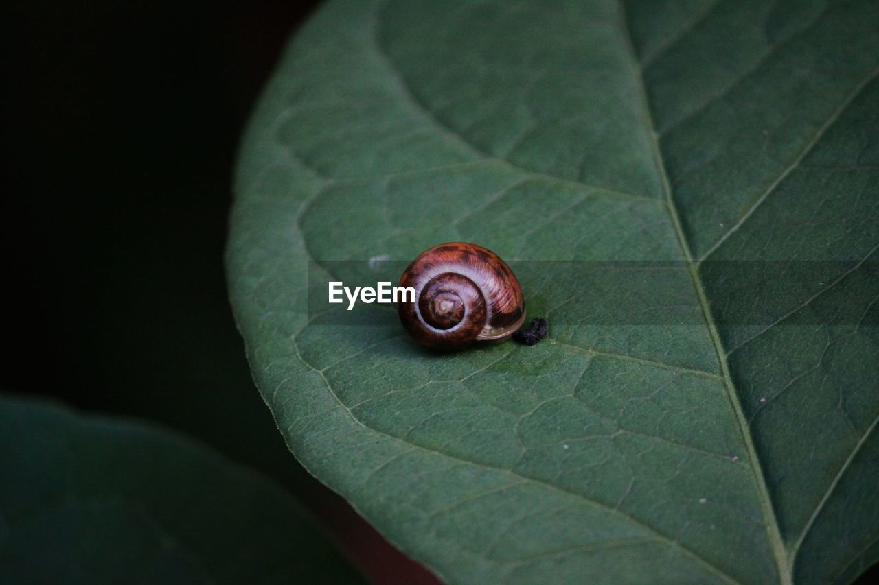 CLOSE-UP OF SNAIL ON GREEN LEAF