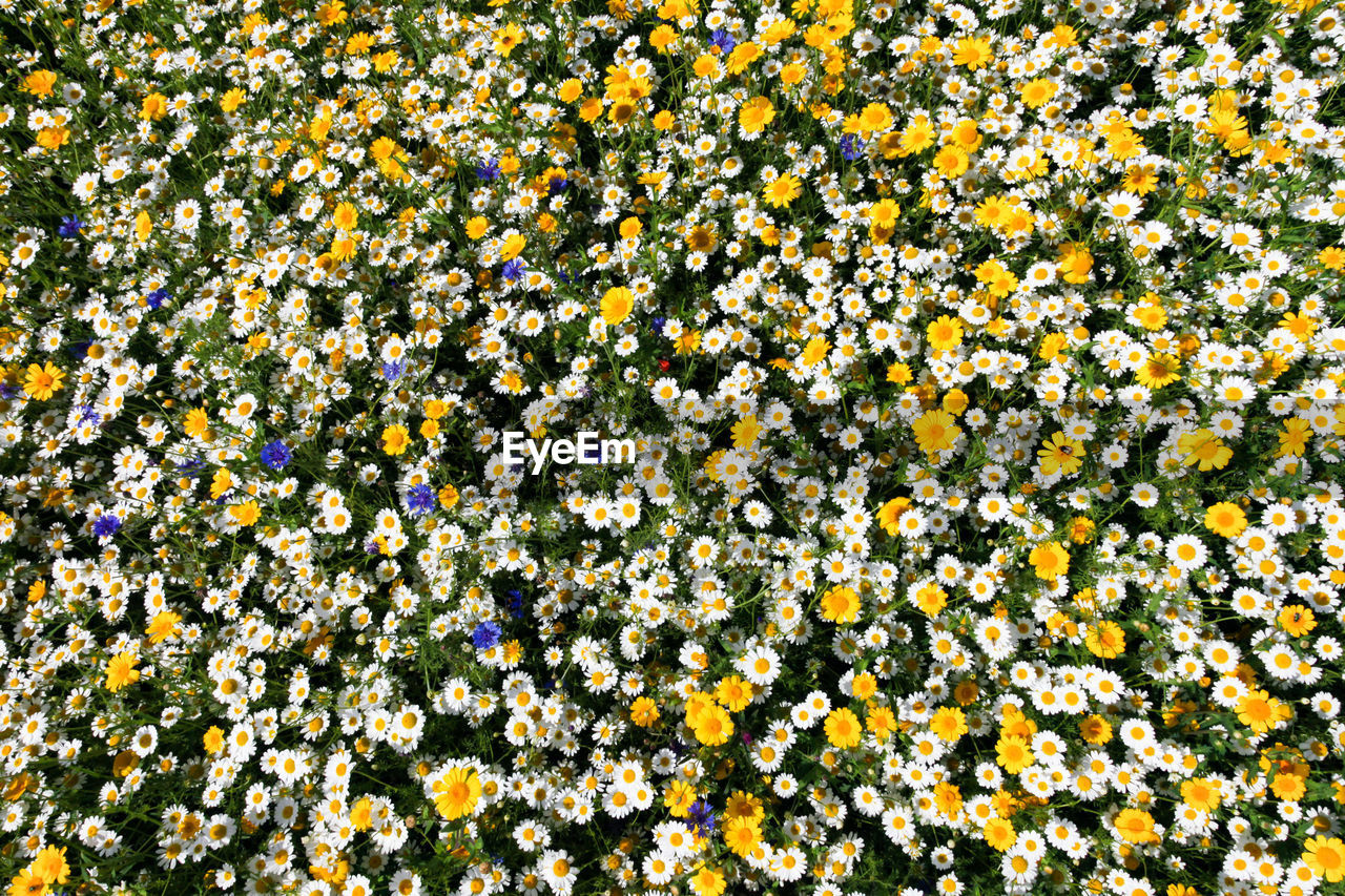 FULL FRAME SHOT OF YELLOW FLOWERING PLANTS IN FIELD
