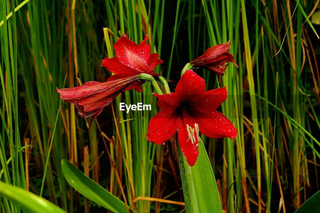 growth, flower, red, nature, plant, petal, beauty in nature, fragility, freshness, drop, flower head, green color, water, wet, blooming, no people, outdoors, day, grass, close-up, day lily