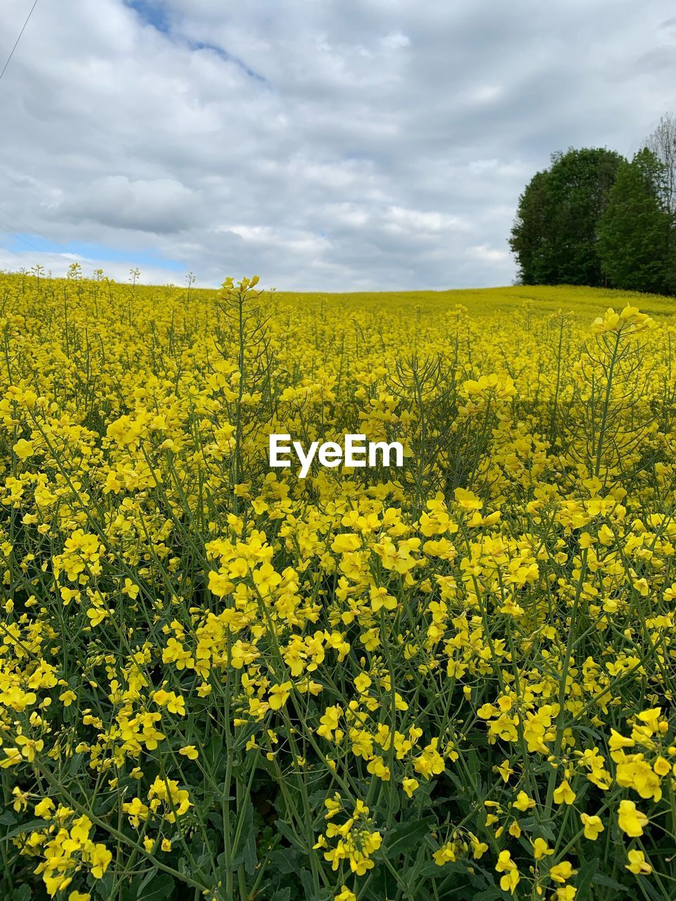 yellow, flower, beauty in nature, plant, flowering plant, growth, sky, field, agriculture, cloud - sky, oilseed rape, landscape, land, scenics - nature, freshness, nature, rural scene, tranquility, environment, no people, springtime, flowerbed