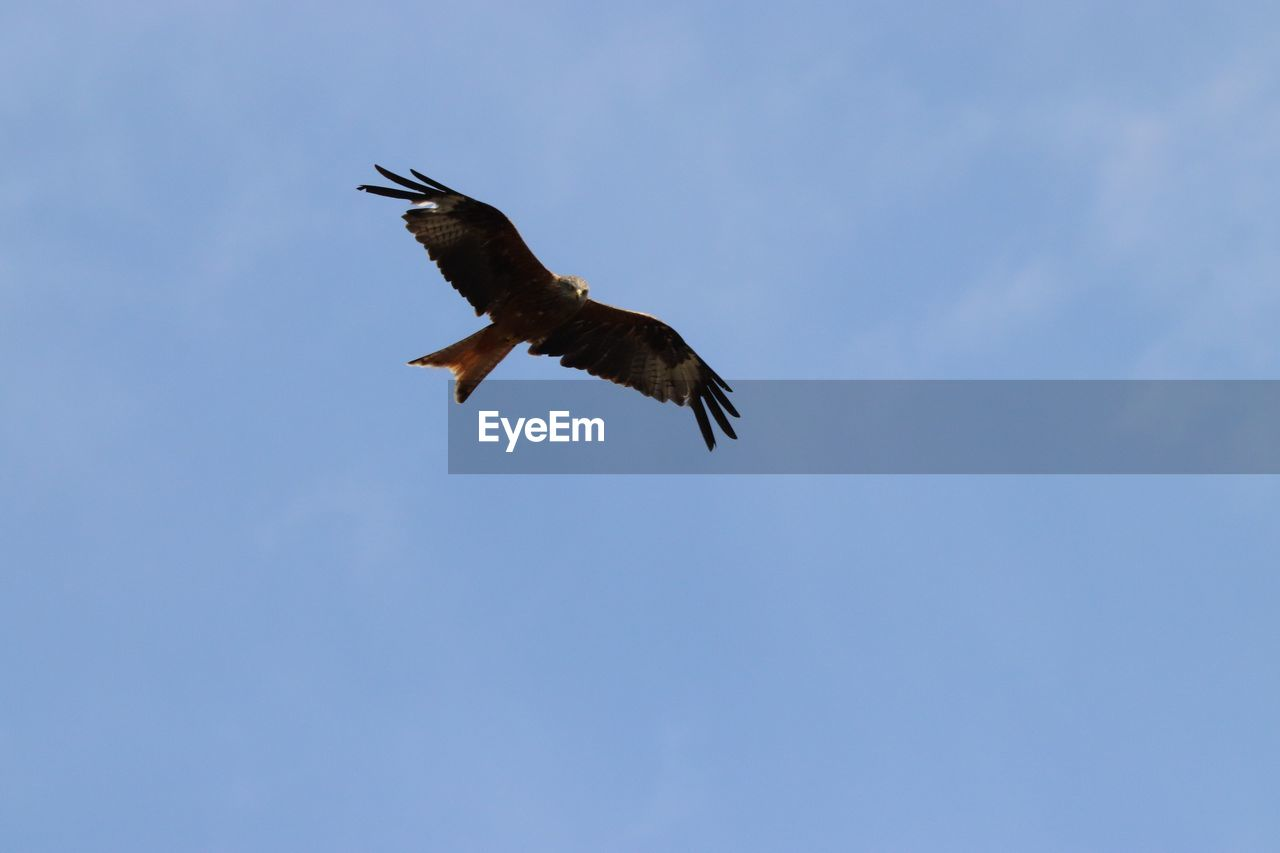 flying, animal wildlife, animals in the wild, animal themes, vertebrate, animal, bird, one animal, spread wings, sky, low angle view, mid-air, no people, bird of prey, nature, motion, day, outdoors, freedom, blue, eagle, height