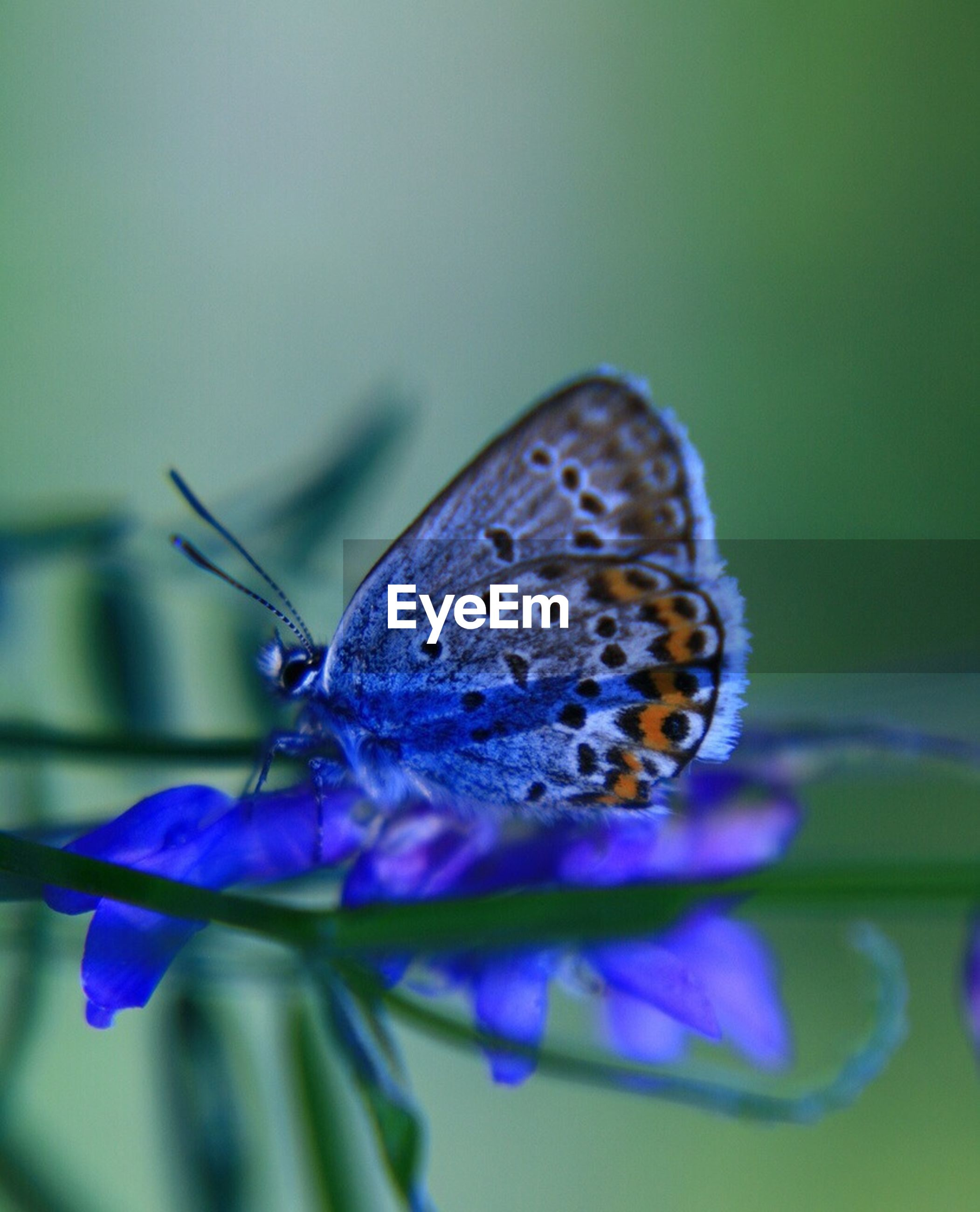 insect, one animal, animal themes, butterfly - insect, animals in the wild, close-up, blue, no people, nature, flower, beauty in nature, animal wildlife, fragility, leaf, outdoors, spread wings, day, freshness