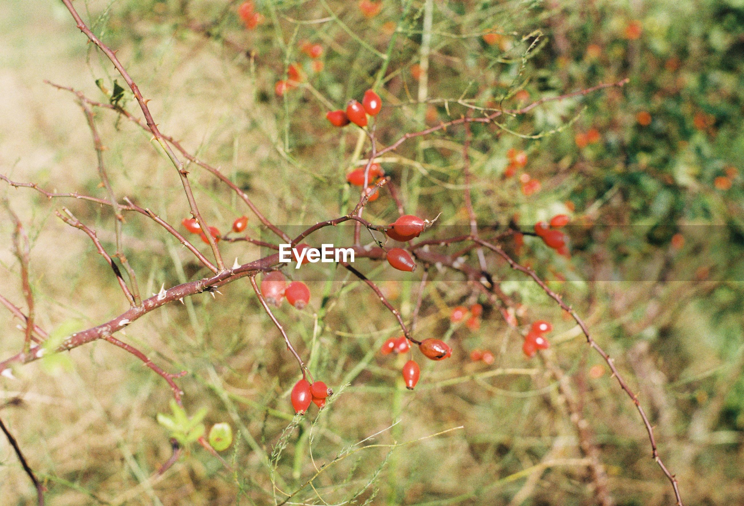 Rose hips growing on branches