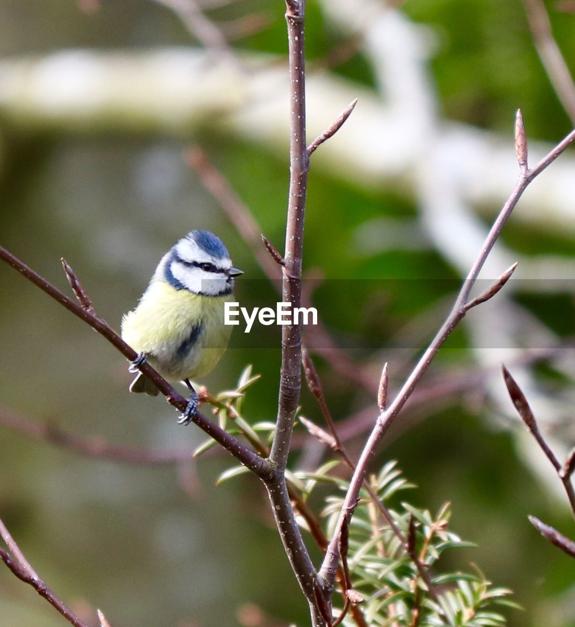 animal wildlife, animal themes, vertebrate, animal, bird, animals in the wild, one animal, perching, plant, focus on foreground, no people, day, nature, branch, tree, bluetit, outdoors, close-up, twig, beauty in nature
