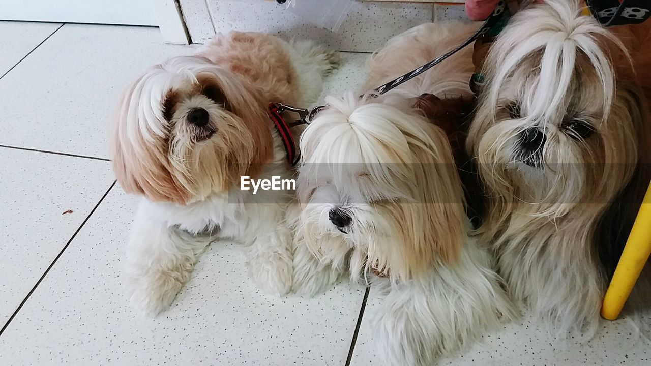 dog, pets, domestic animals, mammal, animal themes, animal hair, white color, high angle view, indoors, no people, day, close-up