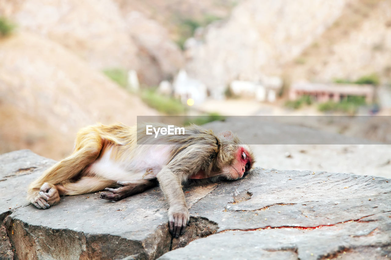 Monkey lying on rock at temple