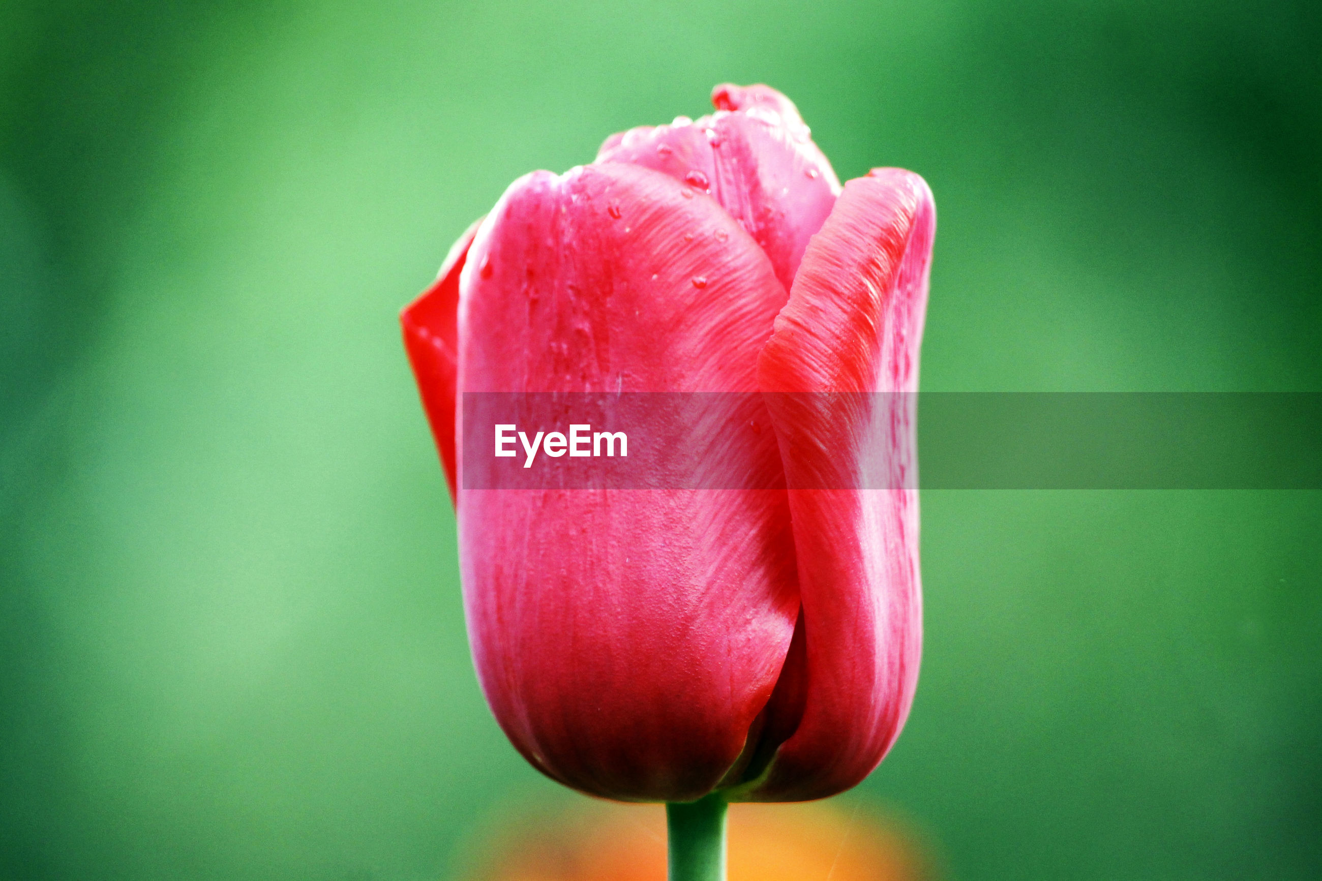 CLOSE-UP OF PINK TULIP ROSE