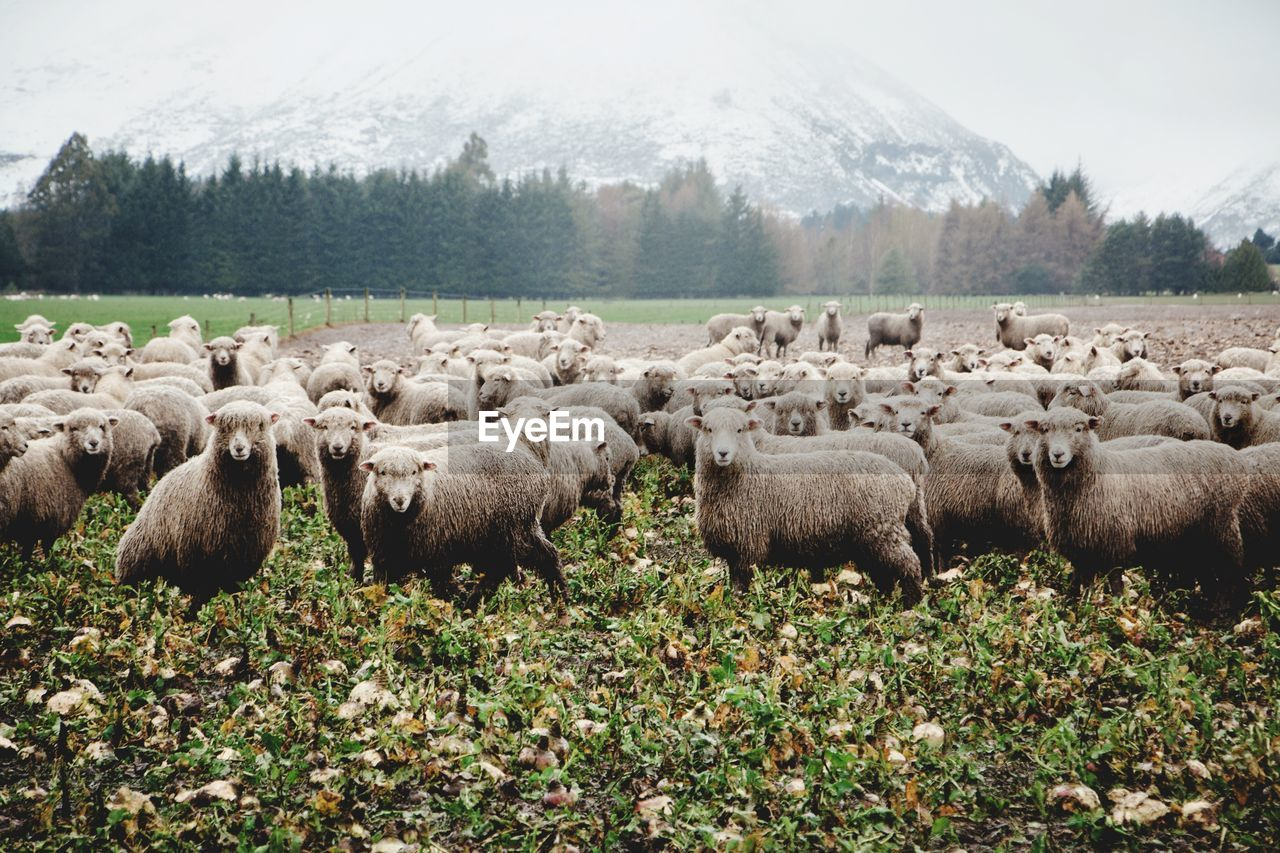 FLOCK OF SHEEP ON FIELD BY TREES