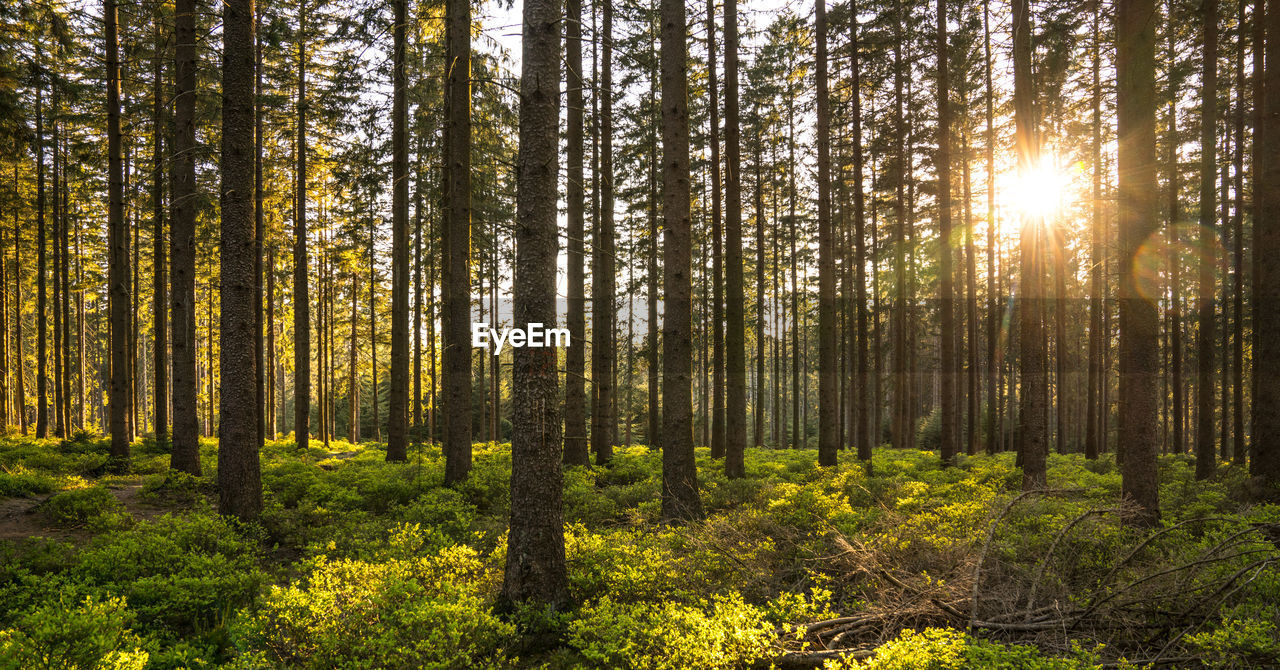 forest, tree, nature, pine tree, scenics, sunlight, woodland, outdoors, tree trunk, beauty in nature, no people, tranquil scene, day, landscape, plant