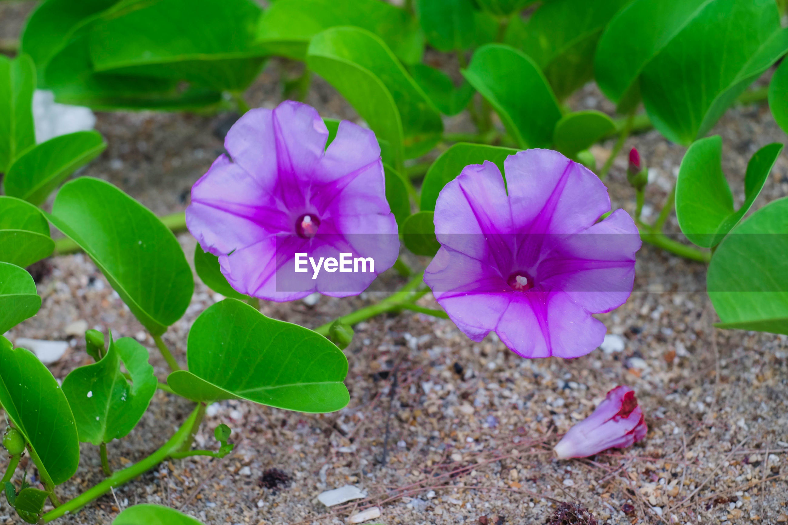 CLOSE-UP OF PINK AND PURPLE FLOWERING PLANT