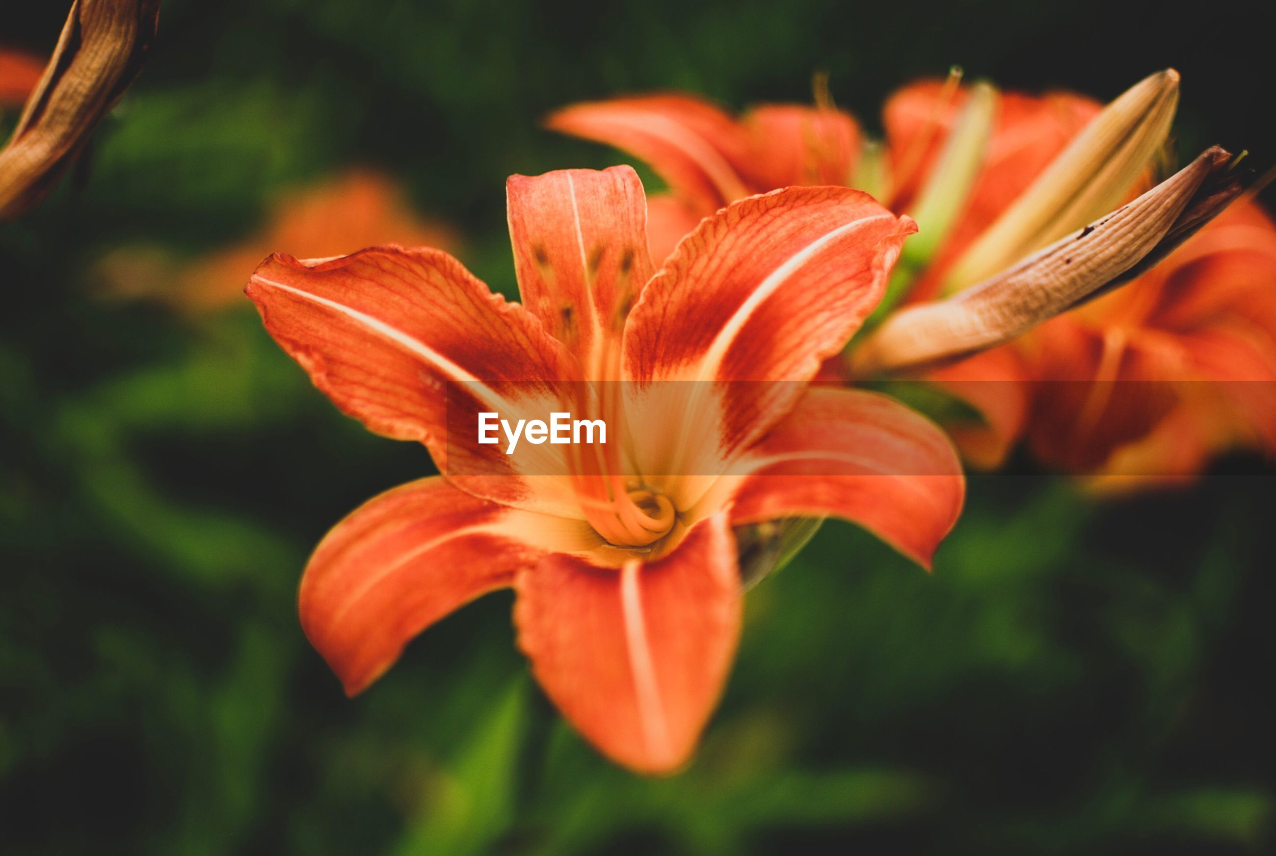 CLOSE-UP OF ORANGE LILY OF FLOWER