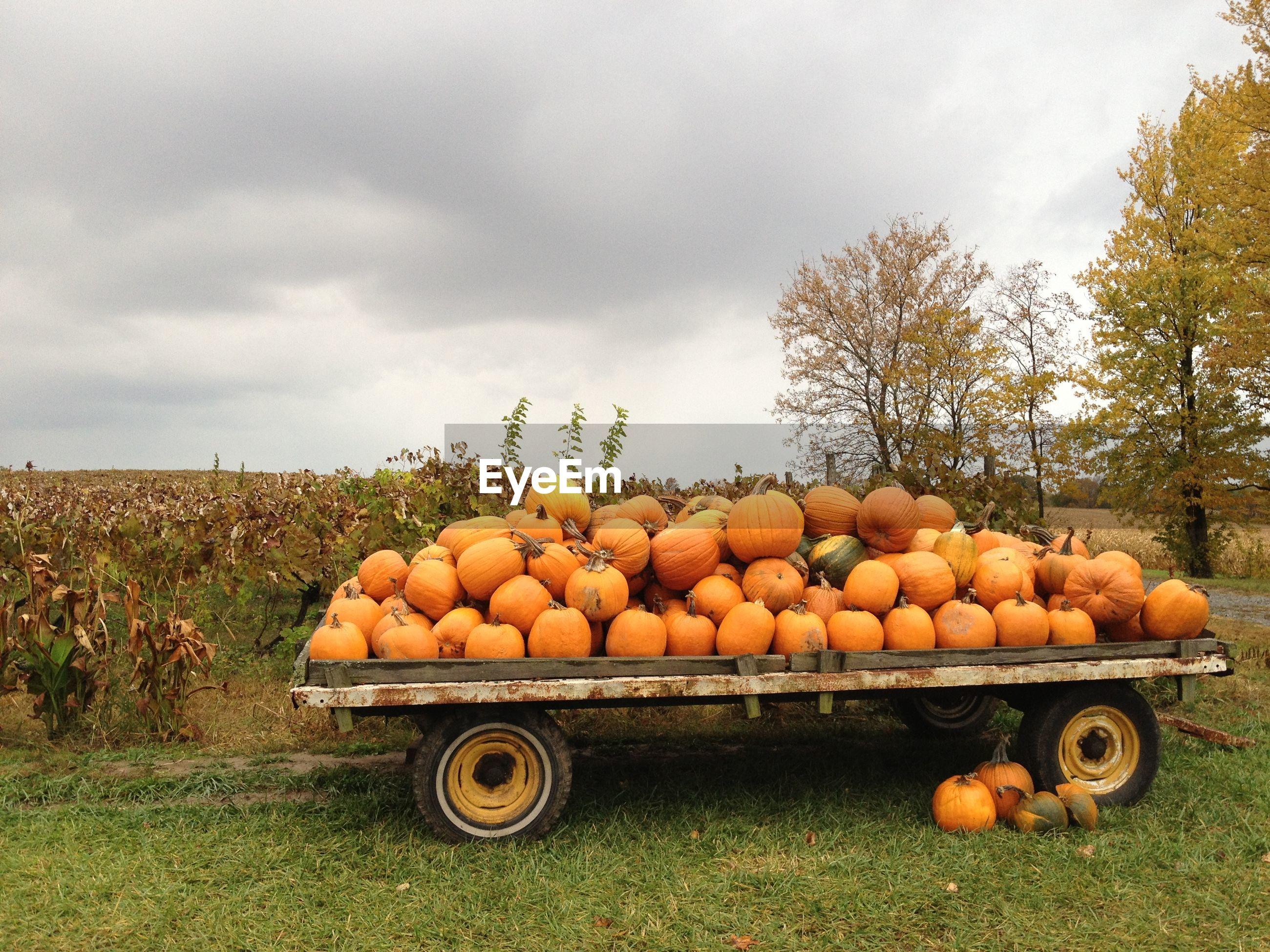 Pumpkins on cart at field against sky