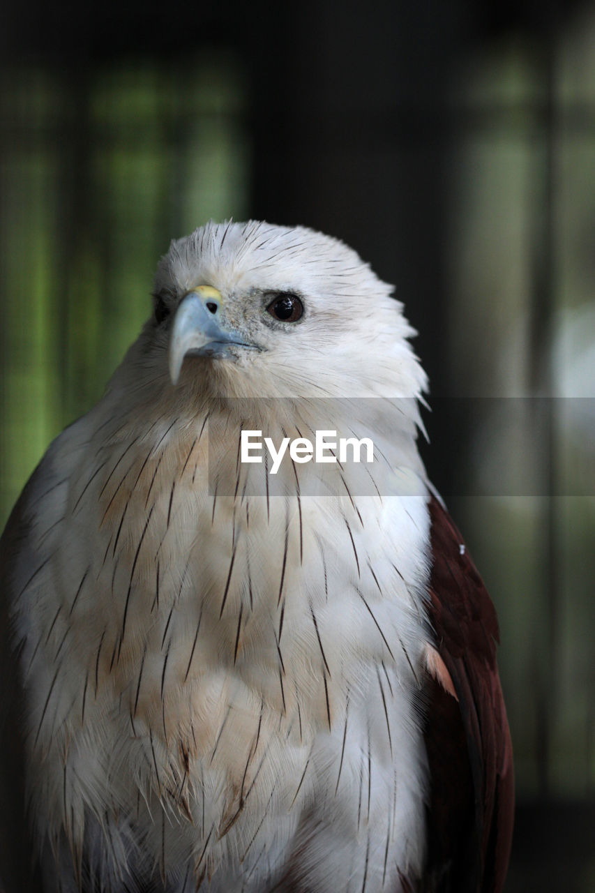 bird, vertebrate, one animal, animal wildlife, animals in the wild, focus on foreground, close-up, bird of prey, day, no people, portrait, looking at camera, outdoors, nature, animal body part, beak, eagle, animal eye