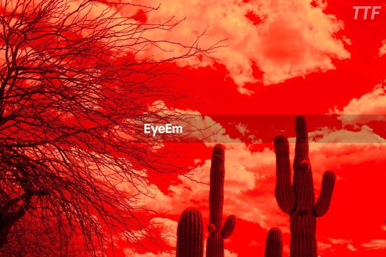 sky, beauty in nature, sunset, plant, no people, cloud - sky, growth, nature, orange color, red, cactus, succulent plant, tree, low angle view, silhouette, scenics - nature, tranquility, tranquil scene, saguaro cactus, outdoors
