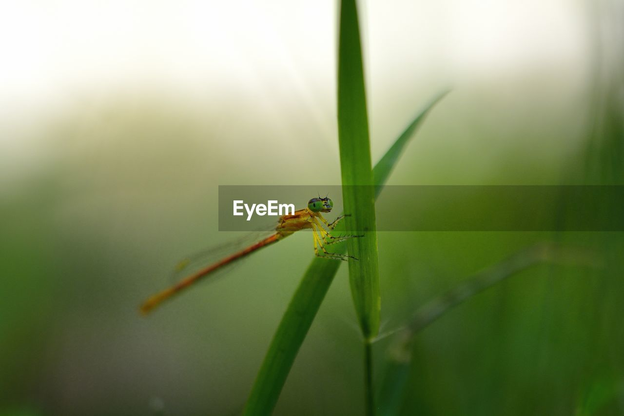 one animal, invertebrate, insect, animal themes, animals in the wild, animal wildlife, animal, green color, close-up, plant, nature, no people, day, focus on foreground, growth, plant part, leaf, blade of grass, selective focus, grass, damselfly, outdoors