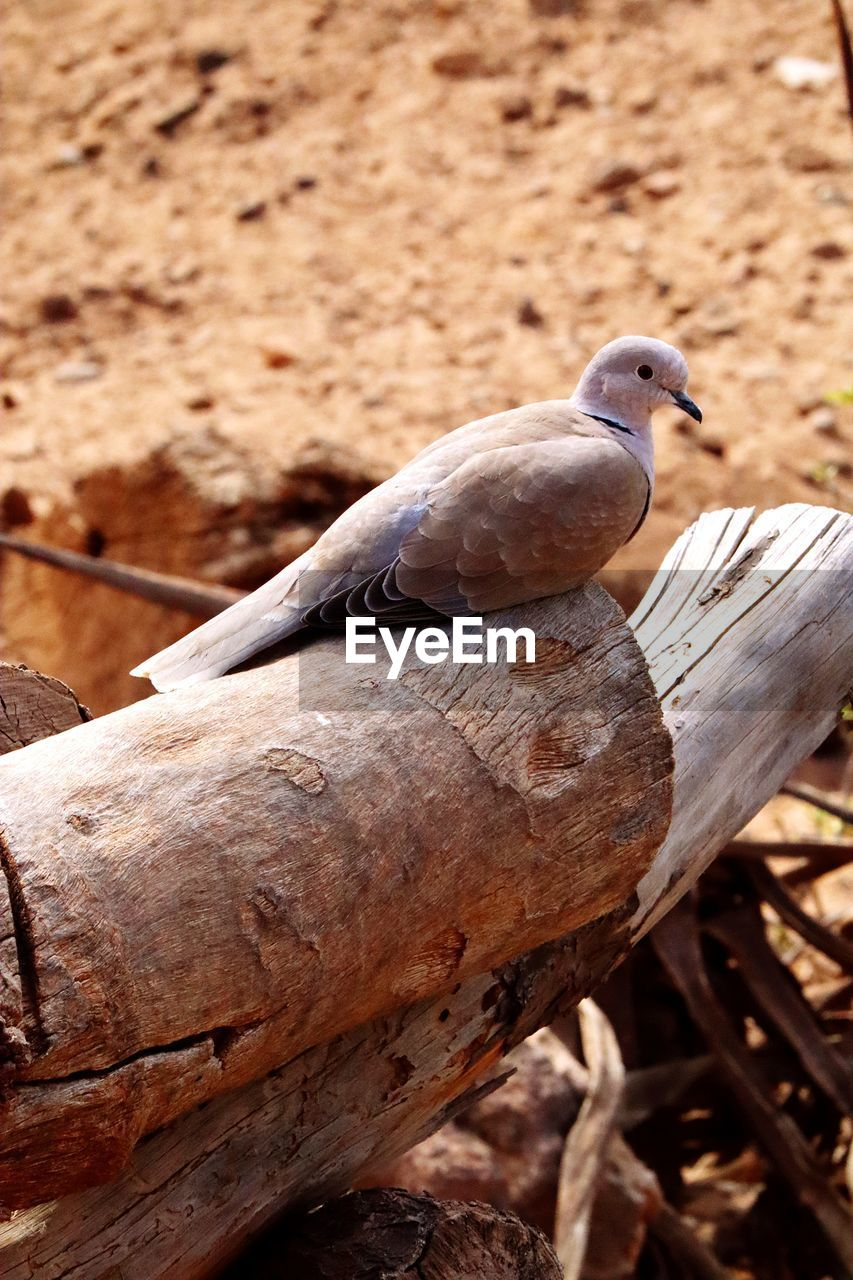 animal themes, animal wildlife, bird, animal, vertebrate, animals in the wild, perching, no people, one animal, close-up, day, nature, focus on foreground, outdoors, wood - material, tree, mourning dove, dove - bird, selective focus