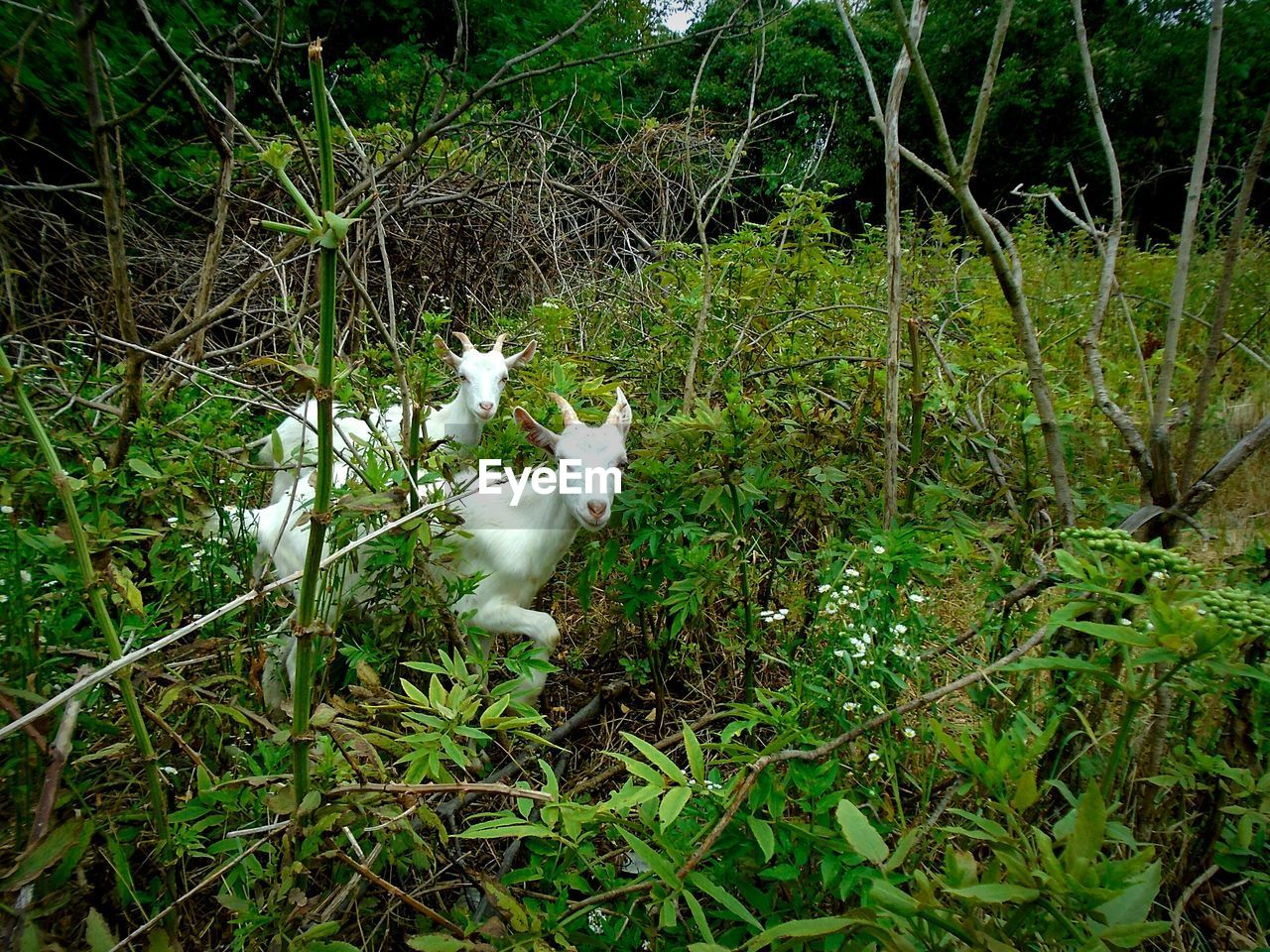 one animal, white color, animal themes, pets, grass, mammal, domestic animals, growth, outdoors, nature, green color, plant, day, no people