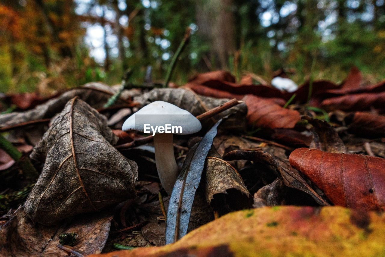mushroom, fungus, plant, land, vegetable, growth, tree, leaf, nature, plant part, toadstool, forest, close-up, food, no people, selective focus, field, day, focus on foreground, beauty in nature, outdoors, surface level, wild, leaves, change